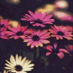 Goblen - Margarete roz şi albe